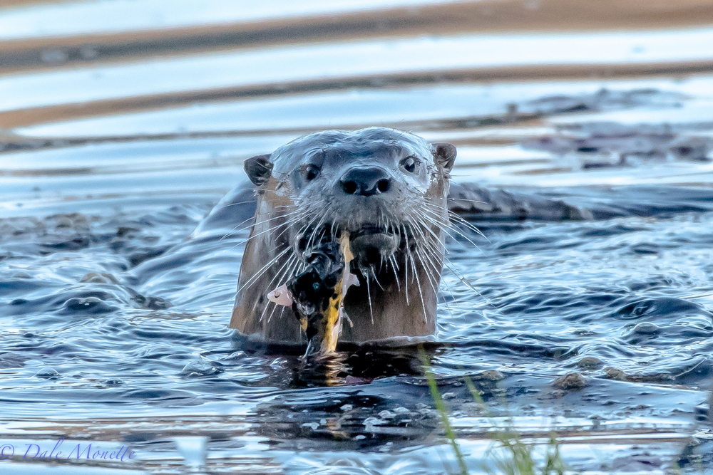 This otter invited me to breakfast.  Luck for him I dont like sushi.  All the more for him.  At least he offered....