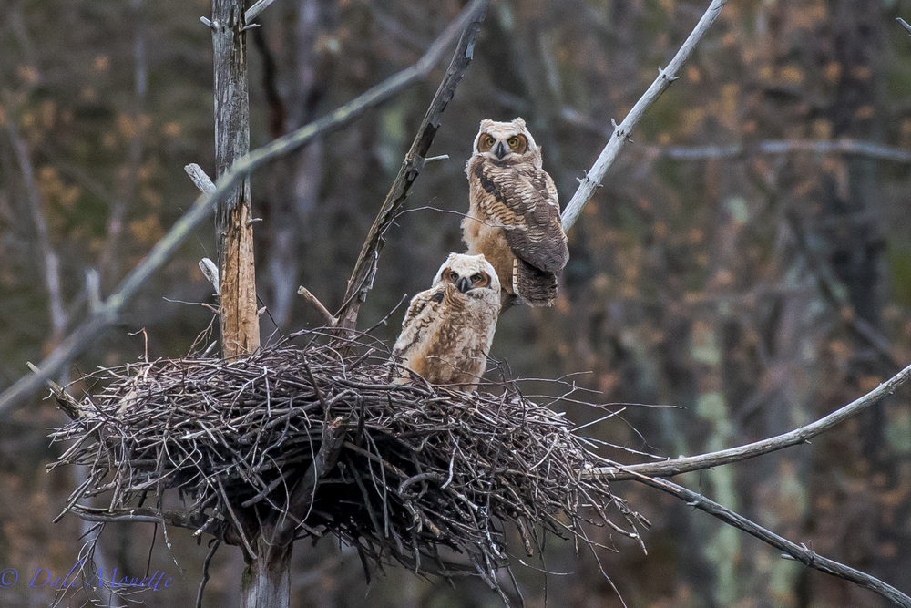 I spent 5 hours today with a good friend of mine watching a family of 5 great horned owls in east central Massachusetts.  The 3 chicks are just about ready to leave the nest and flying around where they are nesting in an abandoned heron rookery. Here are 2 of the older chicks waiting for lunch to be delivered.  5/4/16