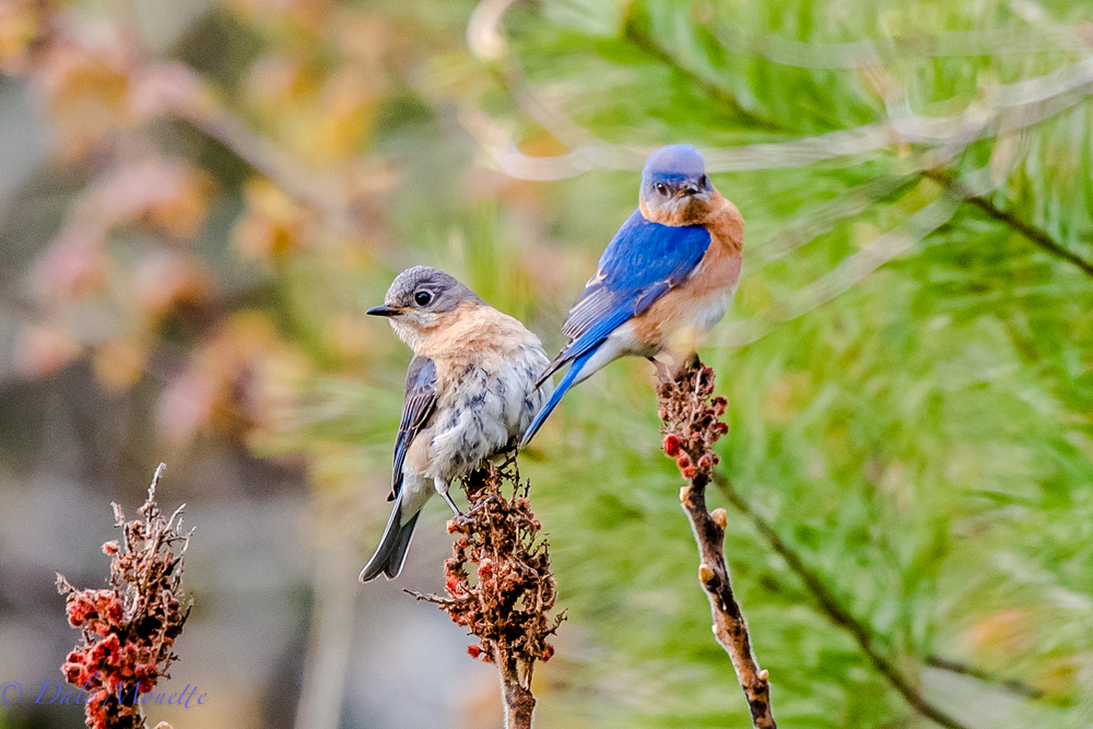 Here is a pair of bluebirds I found near a beaver pond this morning.  What more can I say..... these are neat birds..... 5/8/16