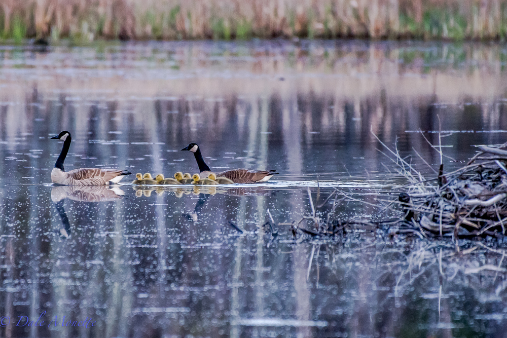 A morning cruise by the old apartment building.  Remember the goose sitting on top of the beaver lodge nest?  Here she is with seven chicks swimming by the lodge this morning.  The chicks are 2 weeks old today.  5/10/16