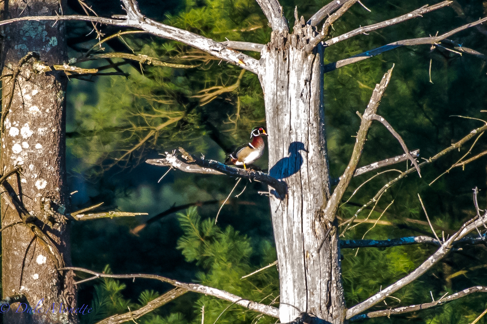 Here's a unique photo of a male wood duck sitting in a tree in the early morning sun in a beaver pond in the northern Quabbin watershed taken from about 200 yards away.  5/11/16