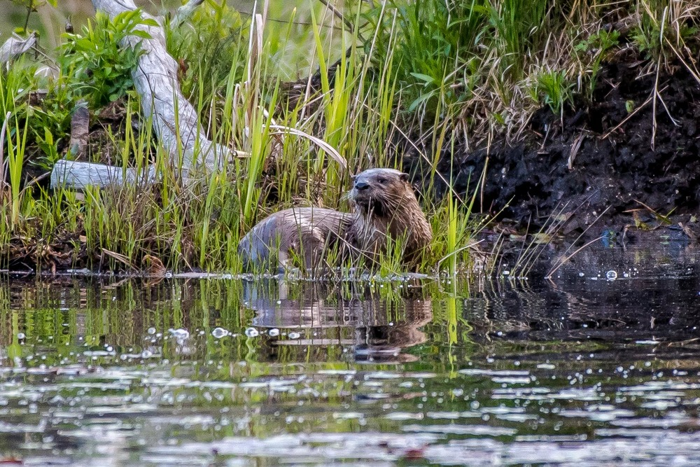 The same otter as in the last picture...... 5/18/16
