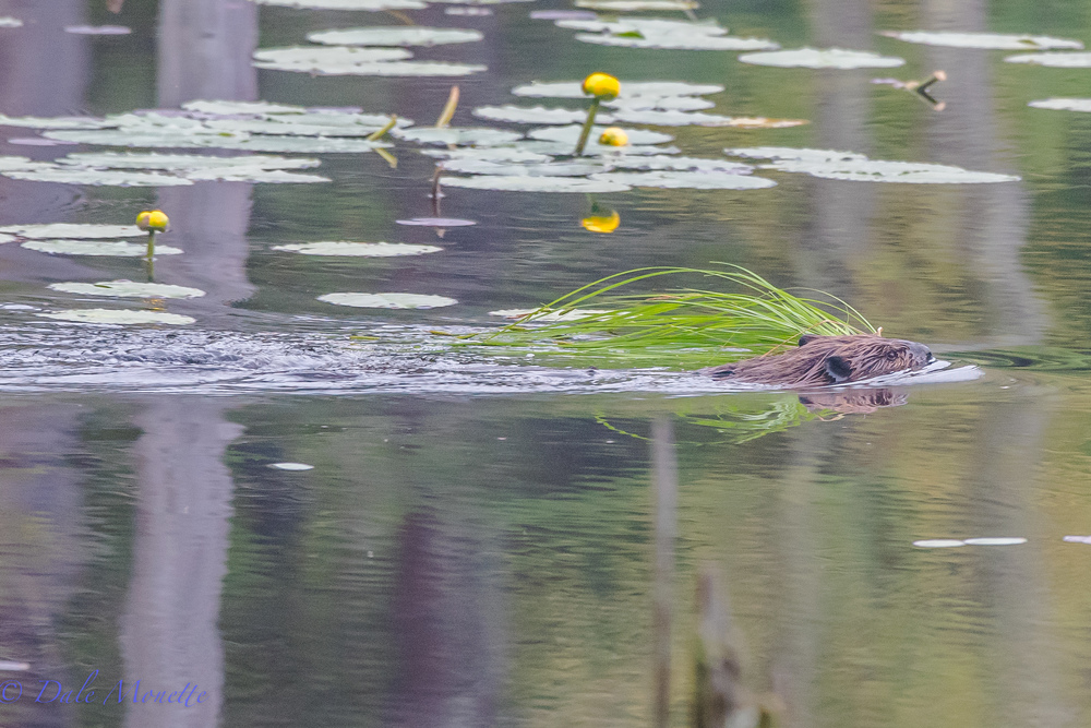 Heres a young beaver pulling a load of fresh grass back to the lodge for his younger brothers or sisters to eat.  The kits should be making their first foray out into the big world soon.  5/25/16