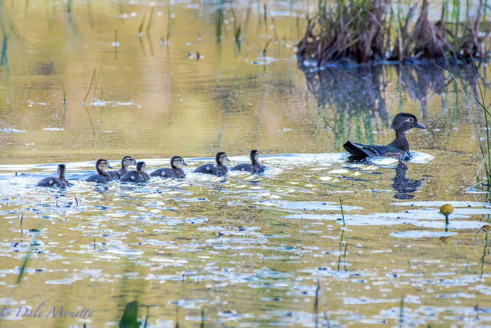 Early this morning I found the first batch of wood duck chicks of this year following mom around all over the beaver pond!  Little yellow puff balls.  6/1/16