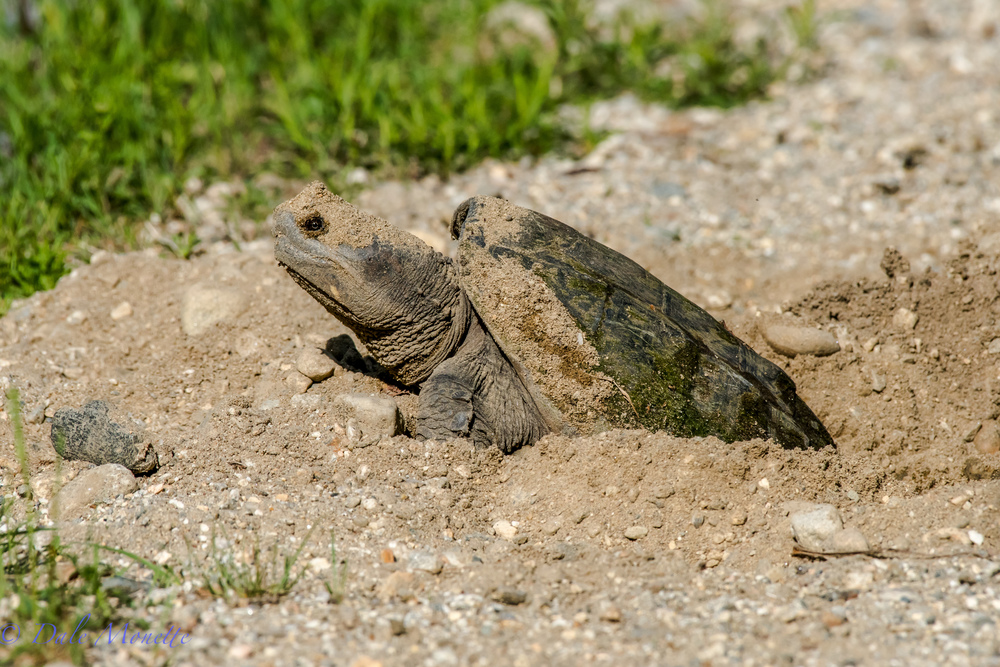 She looks prehistoric huh ?   A female snapping turtle laying her eggs along the shore of the Quabbin Reservoir on June 1st.  Lots of turtles out laying eggs as happens each June.  Watch out when driving for turtles on the roads around wetlands.  6/3/16