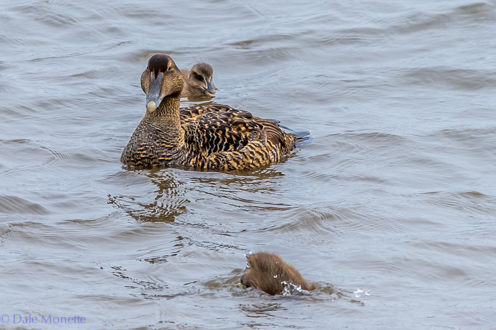 I saw this eider duck in Ingonish Harbor this afternoon.  She had seven ducklings with her and she had them in the surf along the shore.  Cute little buggers!  6/13/17