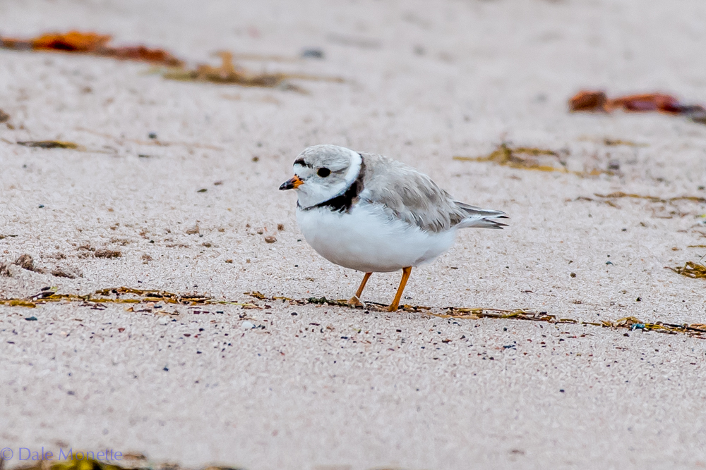 Piping plovers are endangered in Nova Scotia as they are in MA. The beaches where they nest are all posted. This morning I found this one wandering up and down looking for breakfast a far shot from where the posted areas were on South Harbor Beach on Cape Breton. 6/14/16