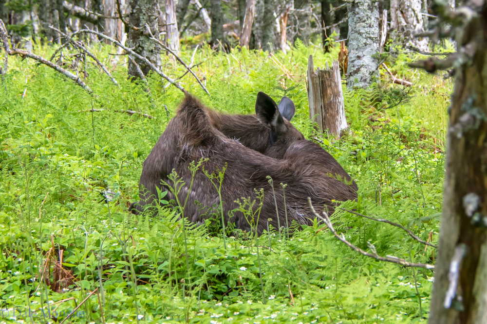 This moose was sleeping about 50 feet off the Skyline Trail curled up in a ball snoozing away. I scurried by and she never batted an eyelash.  6/17/16