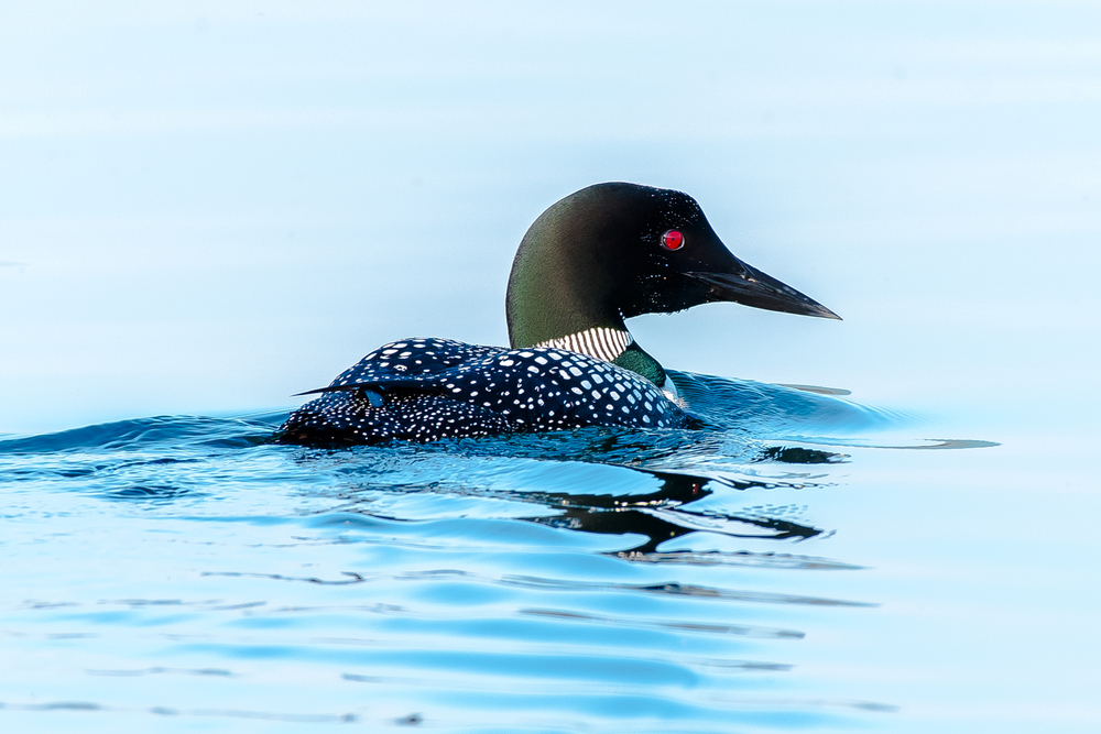 An adult loon at Quabbin cruising along on a calm summers day.  Did I mention I love these birds !  7/8/16
