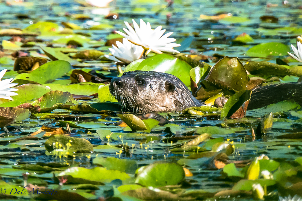 A northern river otter found me this morning.  They are hard to see in the summer because they like to stay hidden in the lily pads.  The click of my camera was to much for this ones curiosity and he just had to stop and check me out!  7/18/16
