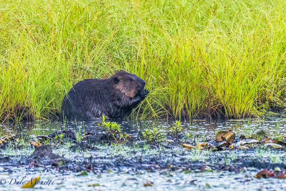 I found this beaver early this morning eating fresh grass.  I have seen them do this before. Lots of fresh greens to eat in the summer.  8/3/16