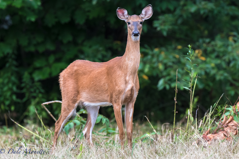 I spend hours standing in one place just watching and waiting.  This morning after 90 minutes I turned around and moved about 20 feet.  This doe jumped up from about 30  feet to my left and scared the crap out of me.  She then stopped turned around and started slowly walking towards me !    8/5/16