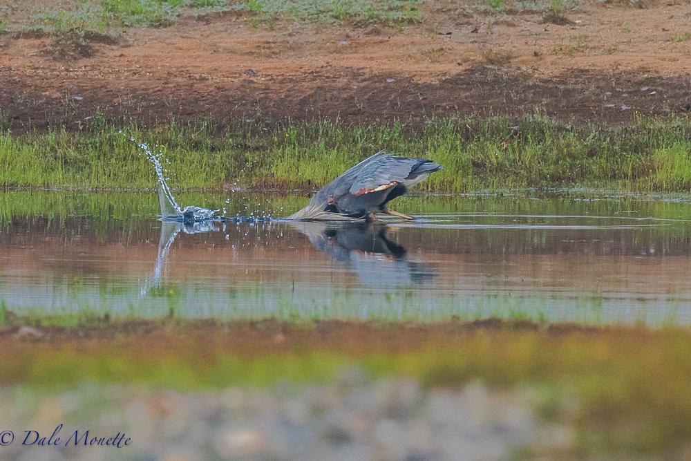 A great blue heron snaps up a fish along the shore of Quabbin early this morning.  It was in a small pond along the shore that had some stranded fish in it because of the low water.  8/11/16