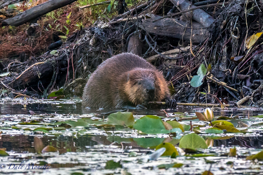 This beaver was out of the water loafing in the sun last week.  Today I figured out why.  He is starting to get the lodge ready for winter by smearing mud and weeds on it for winterizing it.  Does he know something we don't ?  8/19/16