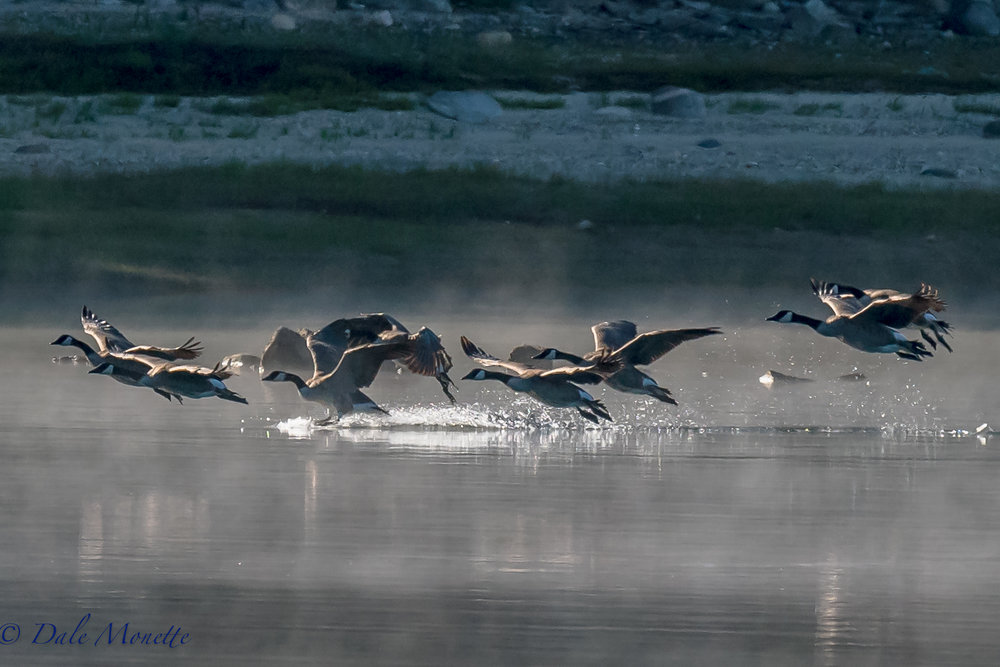 Canada geese dropping out of the fog along the Quabbin shoreline.  I love the morning fog at Quabbin.  You never know what will drop out of the sky !!  8/23/16