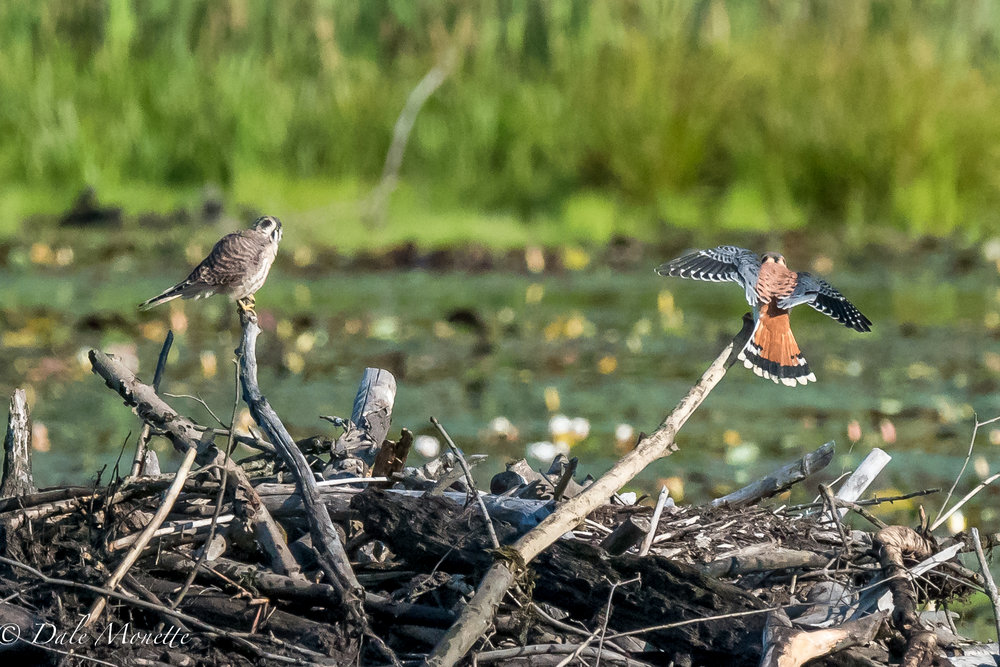 A pair of kestrels (falcons) were zipping around the heron pond this morning when I arrived along with a merlin.  9/4/16