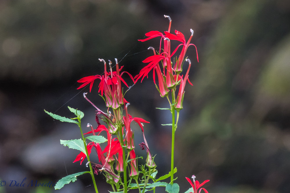 Cardinal flowers in a drying out stream bed at Quabbin  9/5/16