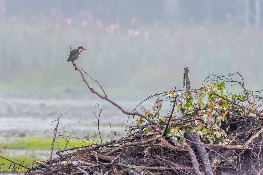 The last juvenile green heron sits above a beaver lodge in this mornings fog wondering if he should head south on a journey he has never taken and must use his instincts, or hang around for a while as his 2 buddies have left within the last 2 days.  9/16/16 !