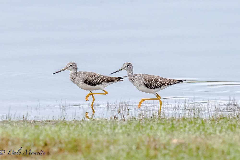 A pair of greater yellowlegs are racing along the shore of Quabbin while feeding and loading up on calories to help them thru their long migration to South America.  9/20/16