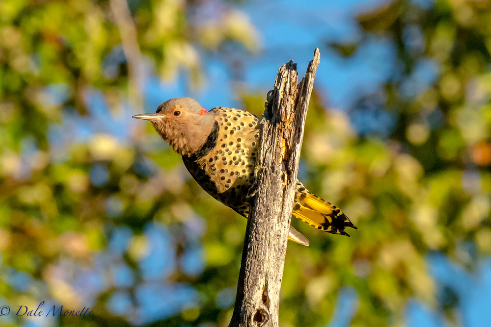 Northern flickers are on the move south now.  I shot this picture of this one in the first rays of the sun making a racket up on this dead tree top.  9/26/16