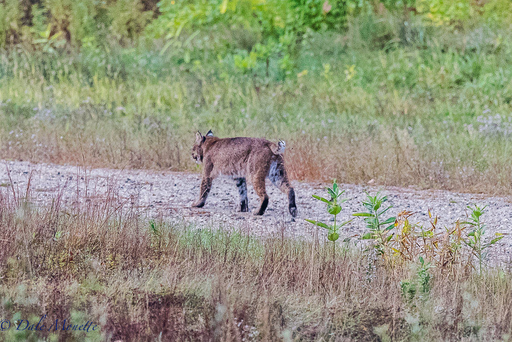 This male bobcat came running down the road right by me as I was waiting for more coyotes to appear,  I'll take it !!