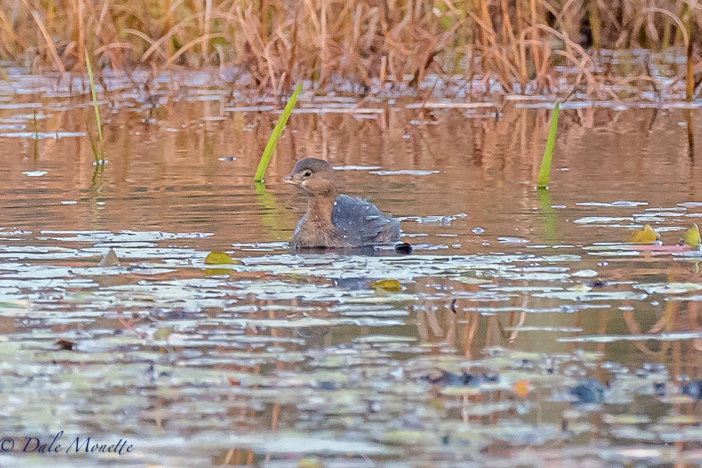 I spotted this pie billed grebe running across the water on a small beaver pond in northern Quabbin this morning. Its the first one I've seen this fall.  10/19/16
