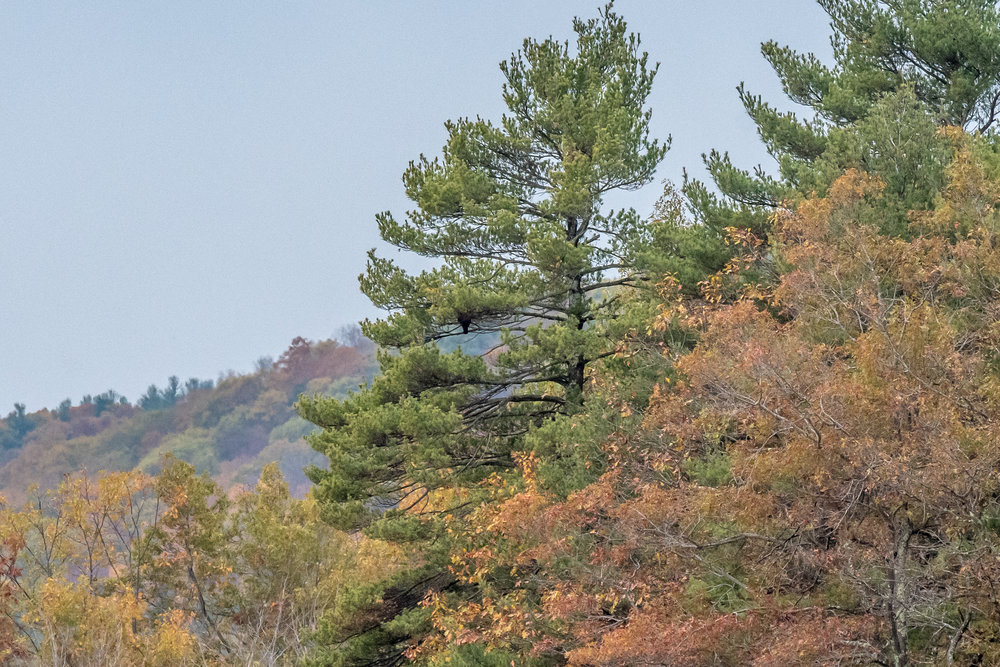 Can you spot the immature bald eagle in this picture?  I have seen them sit like this for hours on end, especially after a full meal on a big fish.  This one sat for the full 2 hours I was in the area.  10/27/16