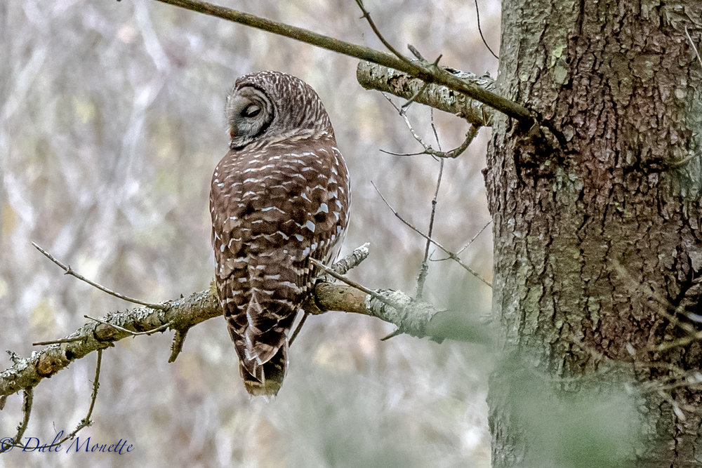 I spotted this barred owl hunting along the edge of a small swamp.  I watched him hunt and took a few photos and left him to find his breakfast without disturbing him.  Notice his head is almost 180 degrees around ! 10/29/16