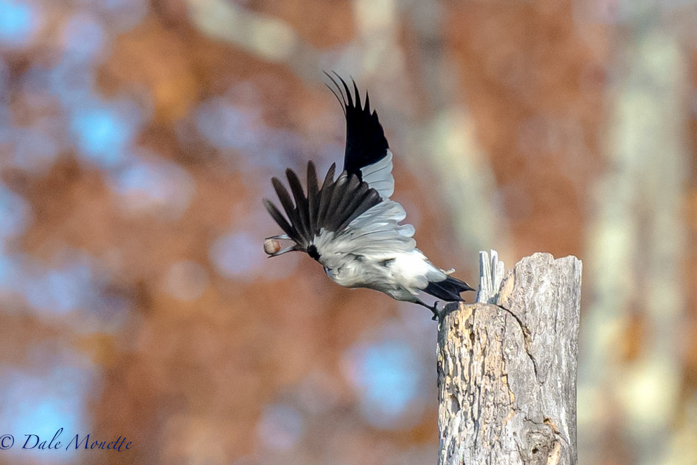 Here's another shot of the red headed woodpecker with an acorn in his beak about to launch off to another crack in a tree to stuff his acorn in.  11/3/16