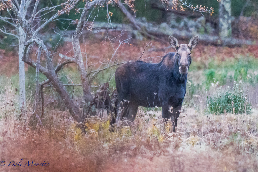 This morning I watched a female moose with a young in tow browse in an abandoned apple orchard at Quabbin.  A great way to start off the week !  11/7/17