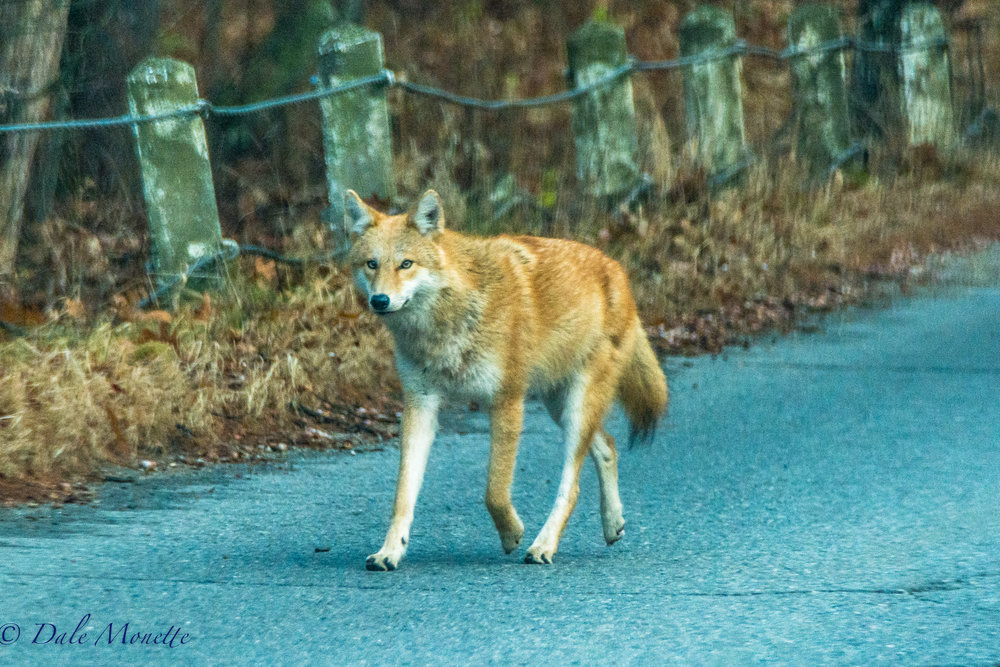 This morning I was driving down the road and saw this large red dog bopping along on the opposite side of the road. I pulled over to get a better look and a car went flying by as it ran into the ditch. It hopped back up out of the ditch and continued down the road and it went right by me. It was a healthy red pelted coyote !  11/17/16