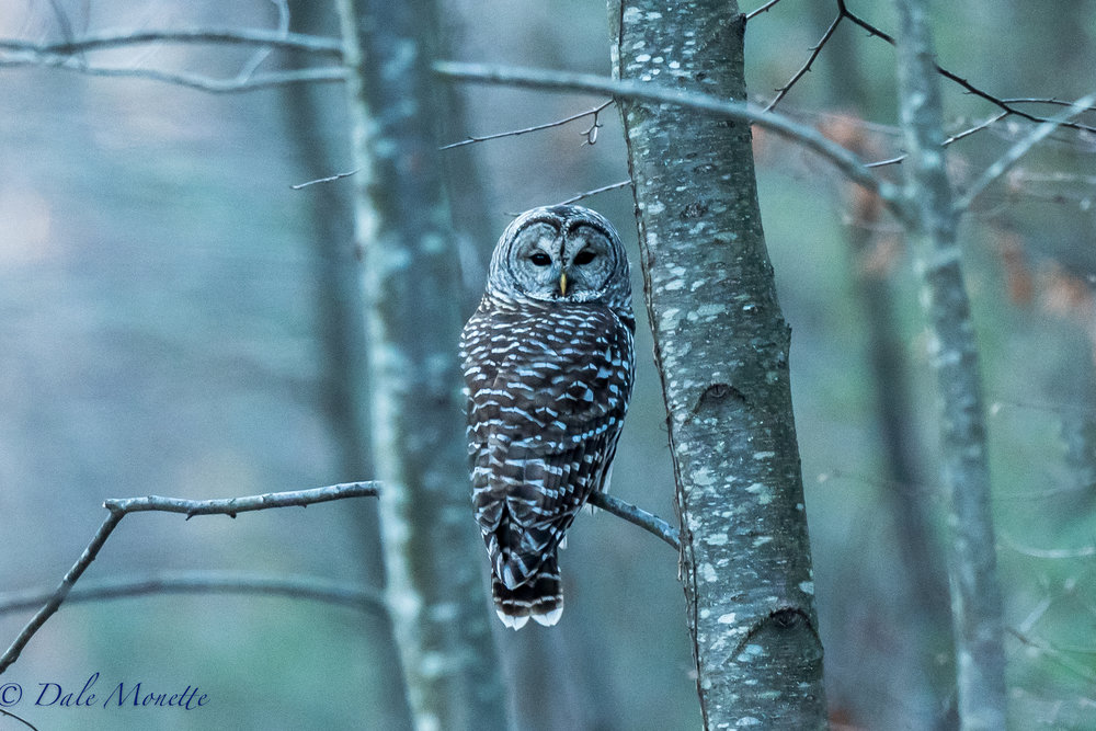 Happy Thanksgiving everyone !  A brisk cold walk this morning turned up this barred owl in Quabbin.  1/23/16