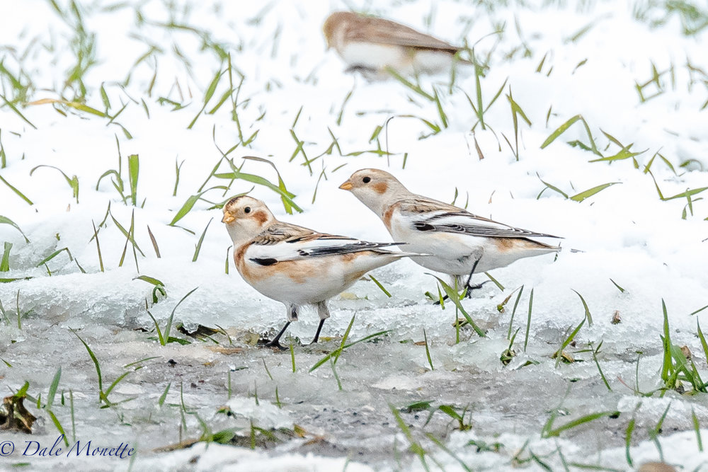 A few visitors from the north, snow buntings, were zipping around a large corn field today in Northampton MA as I drove by.  I had to stop and take their picture.  12/5/16