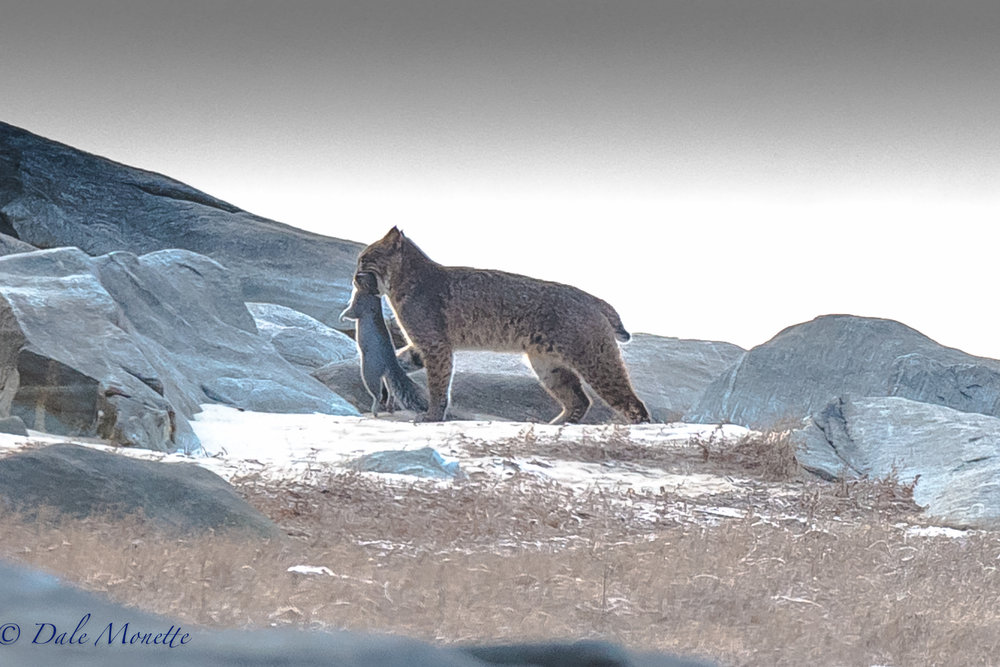 I hiked in to the northern Quabbin in 6 degree F weather this morning, set up hiding in the woods, and BINGO !  Withei 45 minutes this bobcat walked out about 100 yards south of me with a squirrel for breakfast !!  12/11/16