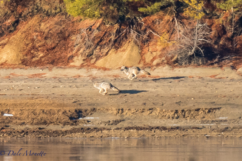 After spending 3 to 4 hours a day for the last week freezing my butt off while waiting for coyotes to drop by, I finally hit pay dirt this morning. Two eastern coyotes racing like the hammers of hell down the distant shore of the Quabbin.  Alway fun to see even if the photo isn't the greatest quality!  1/11/17