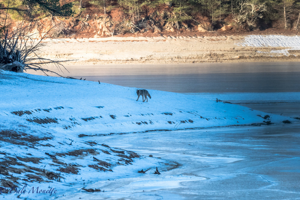 This morning after an hour and 20 minutes I spotted this eastern coyote slinking towards me down the shore of the Quabbin.  I was hidden in the woods. 1/14/17
