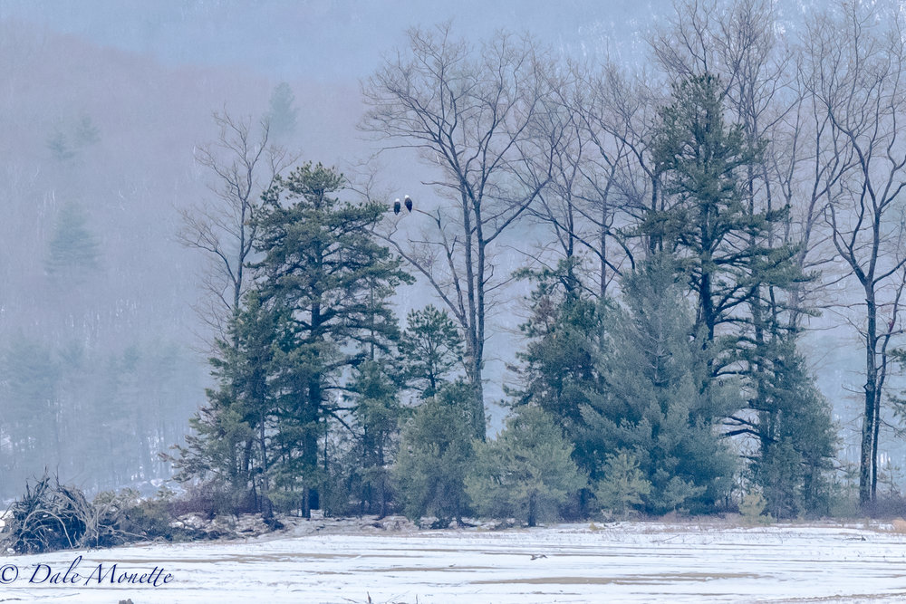Two adult bald eagles at the Quabbin Reservoir are watching the days go by and waiting for breeding season to start with in the month.  1/23/17