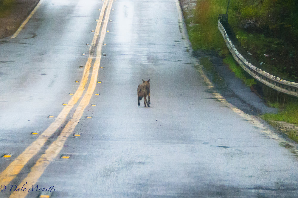 Heres a coyote running down the middle of RT 122 in New Salem, MA.  This is an iPhone 6 from my car....