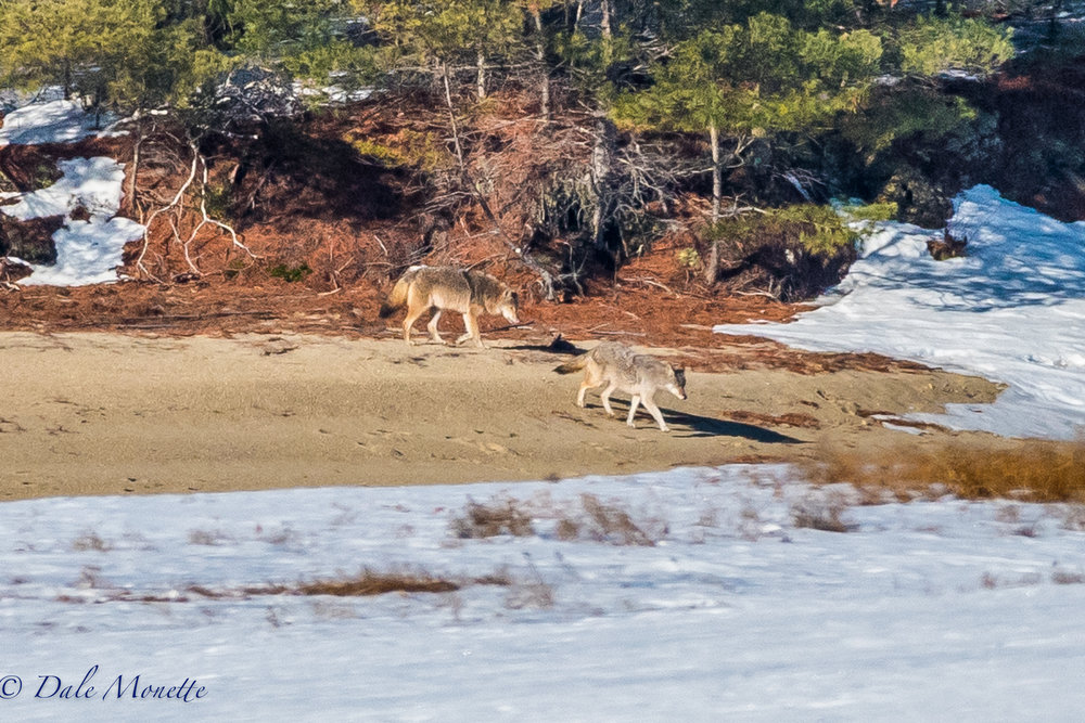At sunrise this morning I heard coyotes howling, two hours later they appeared along the shoreline crossing the ice.  Its always a great thrill to see them !  2/21/17