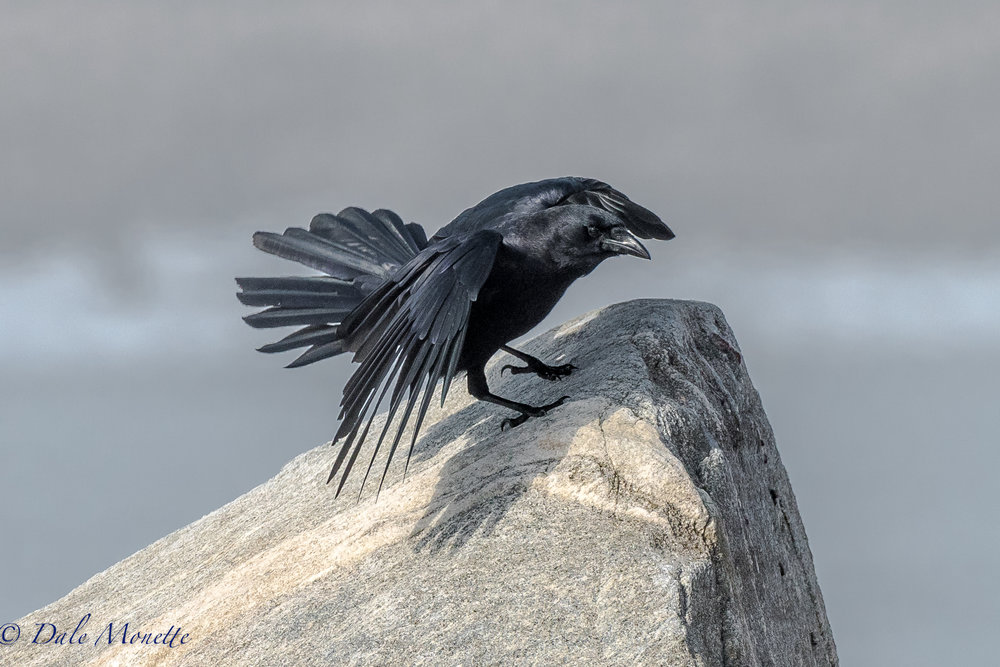 This crow came gliding up the shore and was planning to land on this rock and I was ready for him!  2/14/17