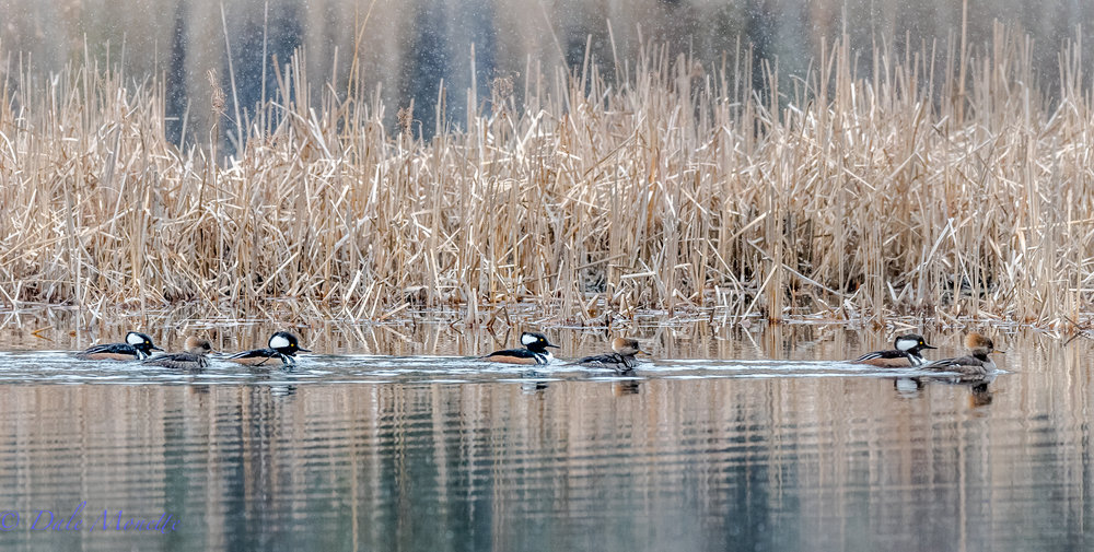 The ponds are opening up from ice and now the ducks are returning.  Hooded mergansers.  3/10/17
