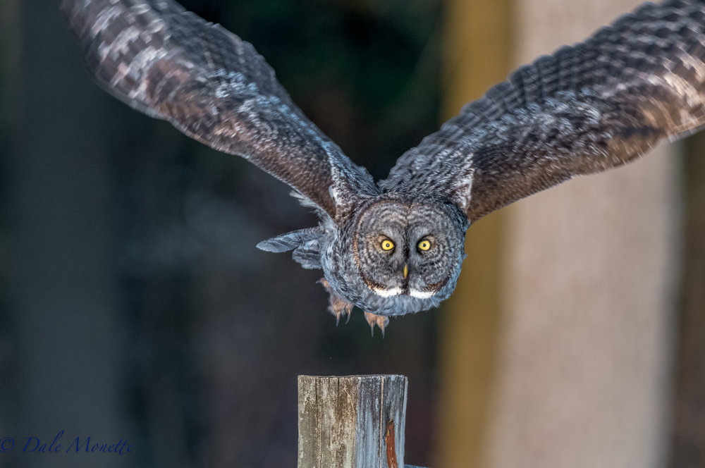 The Newport NH great gray owl lifts off from a post. I was standing about 30 feet away when it decided to drop by for a visit.  It sat there for about ten minutes and then said good-bye.  Shot with a Nikon D810 and my Nikon 500mm f/4 lens.  (notice it's talons) 3/17/16