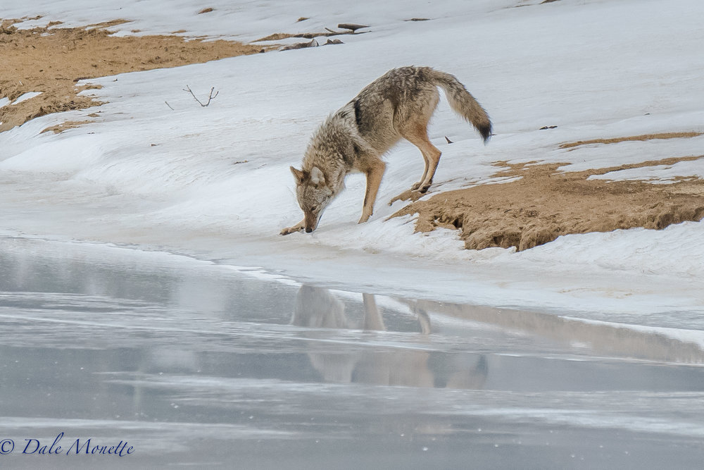 I played hide and seek with the mated pair of coyotes at Quabbin this morning.  I won !!  Here is the female coming down to the water to drink.  I had quite a show for about 90 minutes before they finally wandered off.  A great day was had by all !!