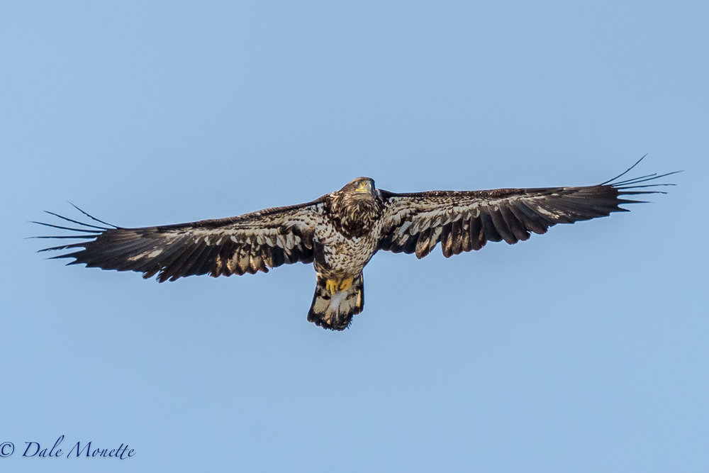 "No coyotes on the ice today but the ""eye in the sky"" was on duty. (juvenile bald eagle)"