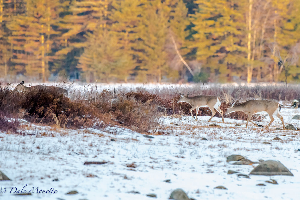 Here are 3 of the 5 deer I saw this morning at dawn in the Quabbin. 4/2/17