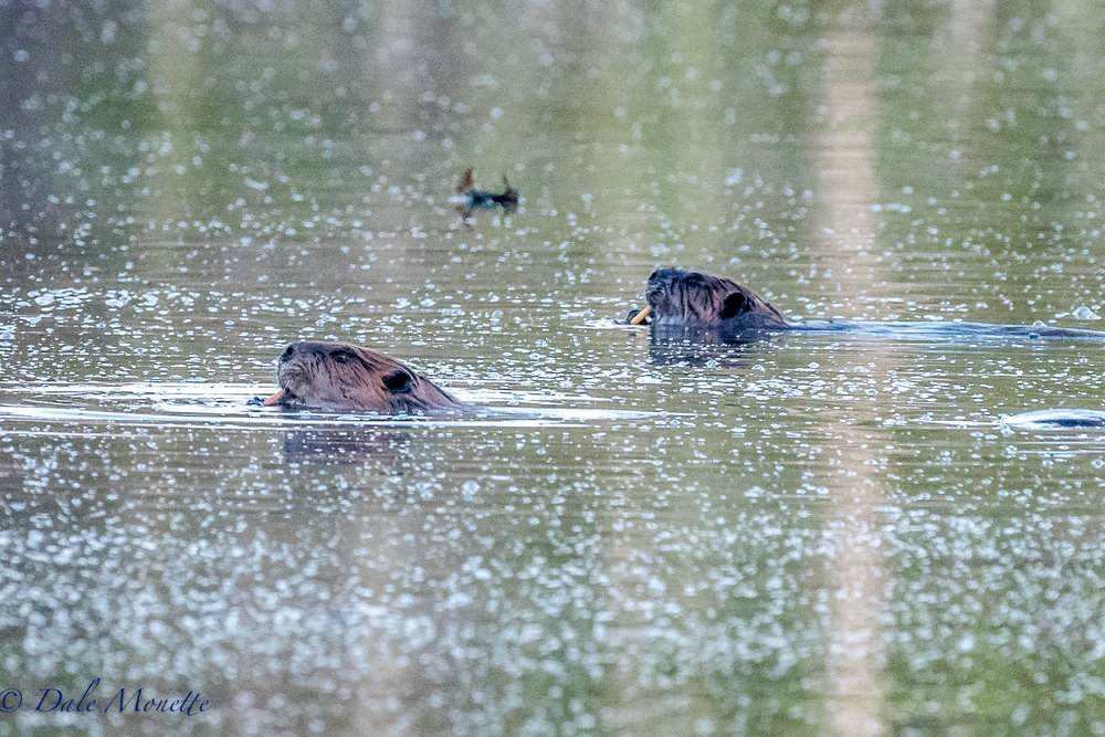 I walked in to see my beaver buddies this morning and found them munching on water lily roots. They love this time of years as they can get fresh greens to add to their diets. 4/17/17