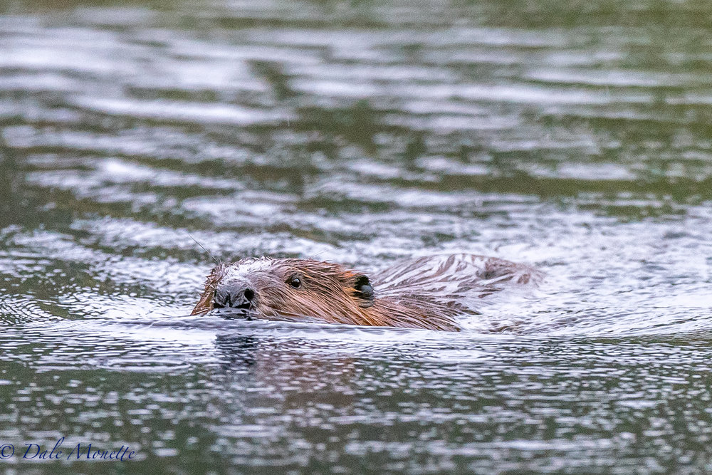 I spent the morning on the side of a beaver pond in the rain. I was surprised when this adult beaver steamed right by me, within 20 feet, looked at me and never gave me the tail slap! It just kept going along on its mission... 4/26/17