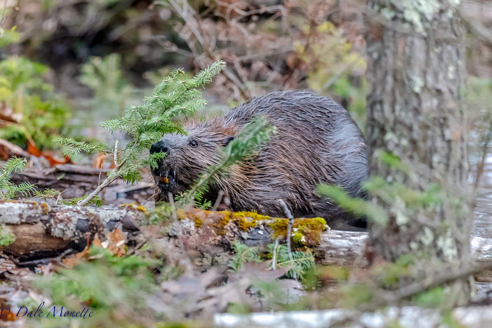 Note the teeth on this beaver. The teeth appear orange-yellow in color, because the thick enamel contains iron deposits which keep the enamel strong. This guy was eating spruce shoots along a pond side at Quabbin.  5/2/17