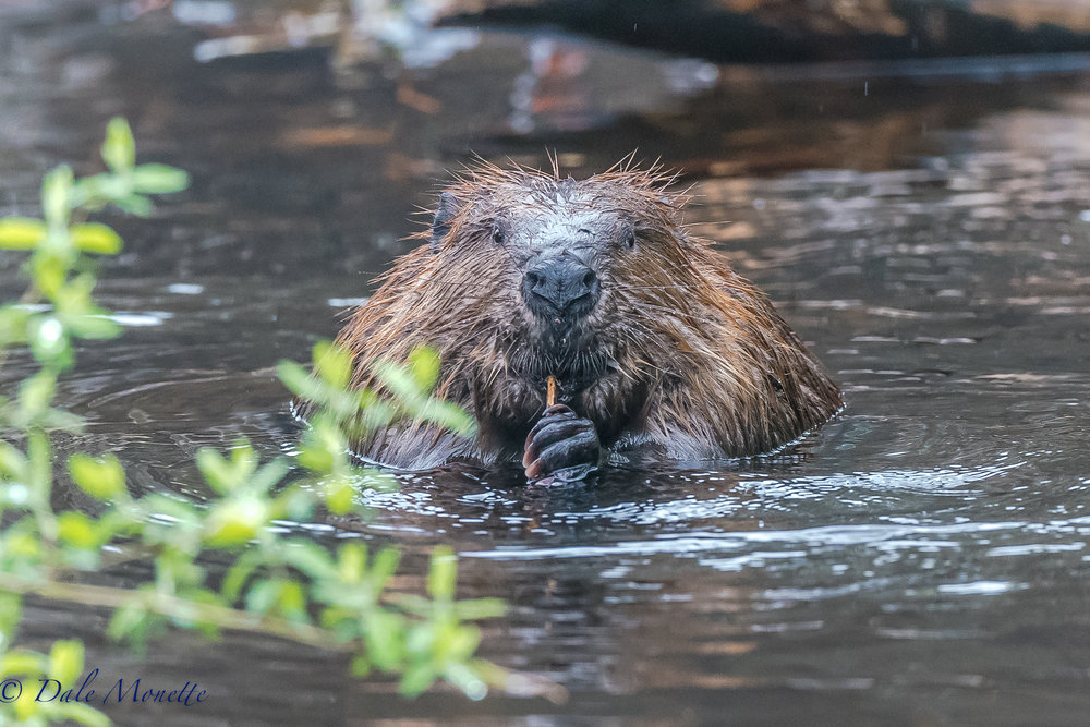 On Saturday morning, the 6th of May we had over an inch of rain over night so I decided to see what the beavers were doing.  This guy was eating between working while another pair worked patching up the dam.... what a face huh ?