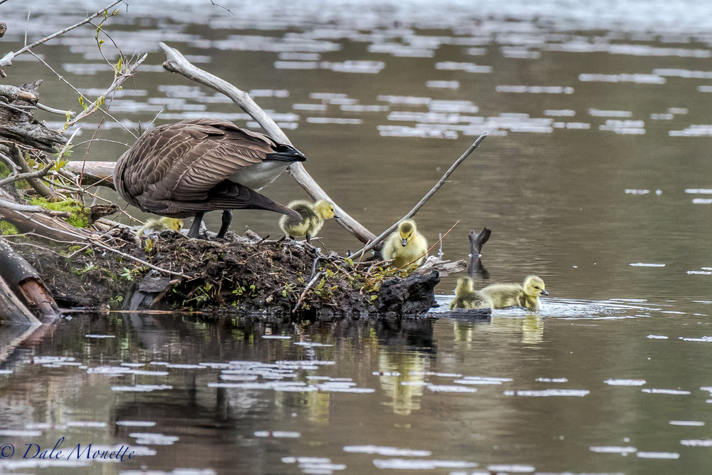Ive been watching these geese for over a 2 months. They made a nest on a beaver lodge a little over three months ago and this morning they had 5 chicks ! She was sitting on eggs yesterday so these birds have their first day on the water today ! 5/8/17